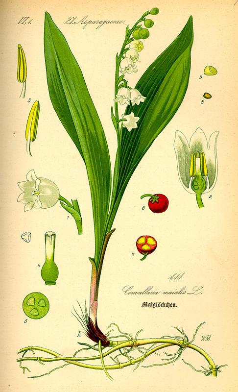 kielo lily valley