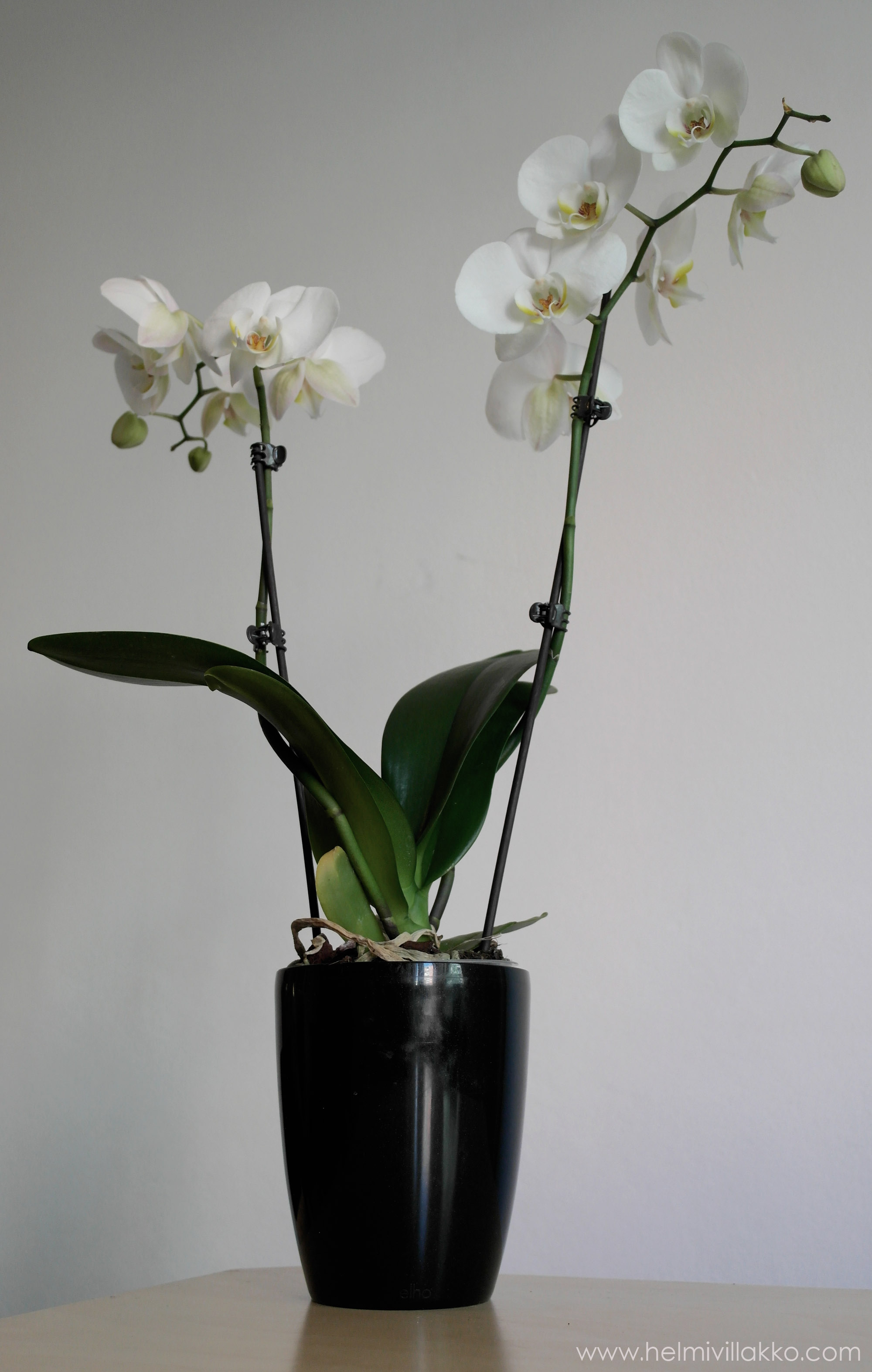 Orkidea Multa